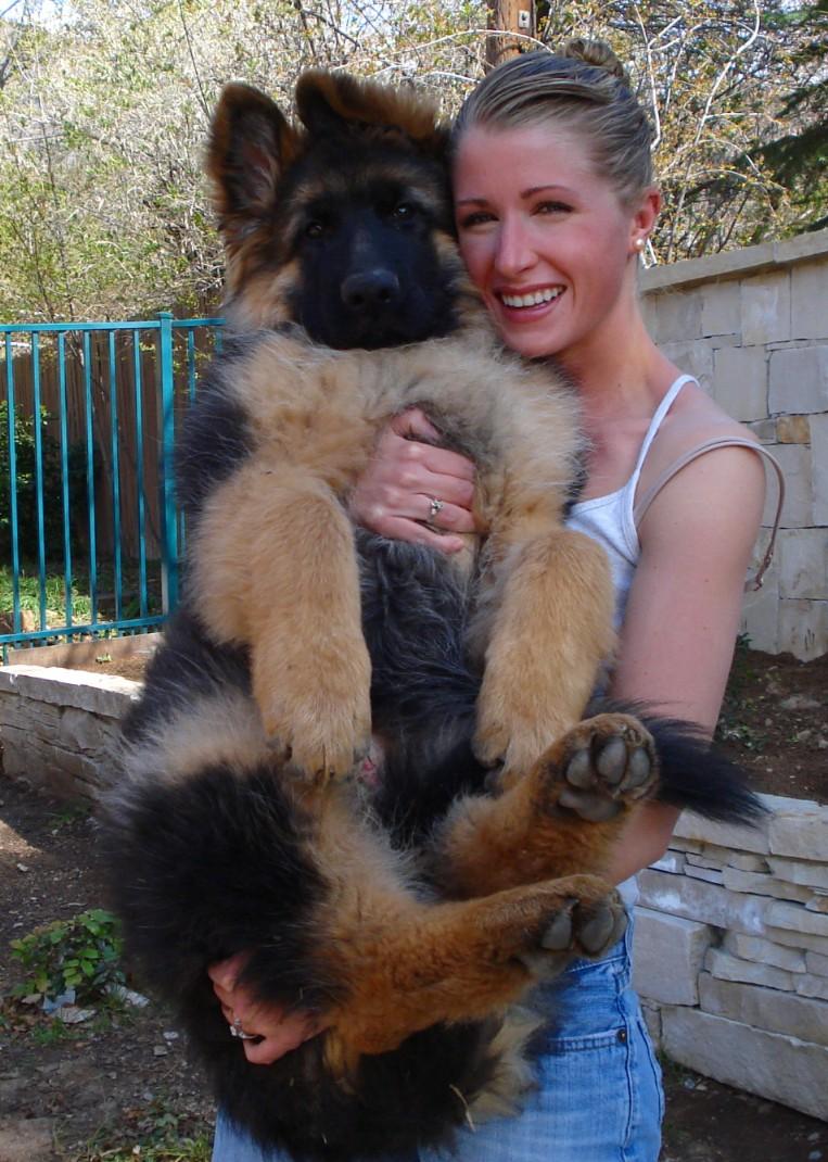 Long haired german shepherd puppy long coat german shepherd
