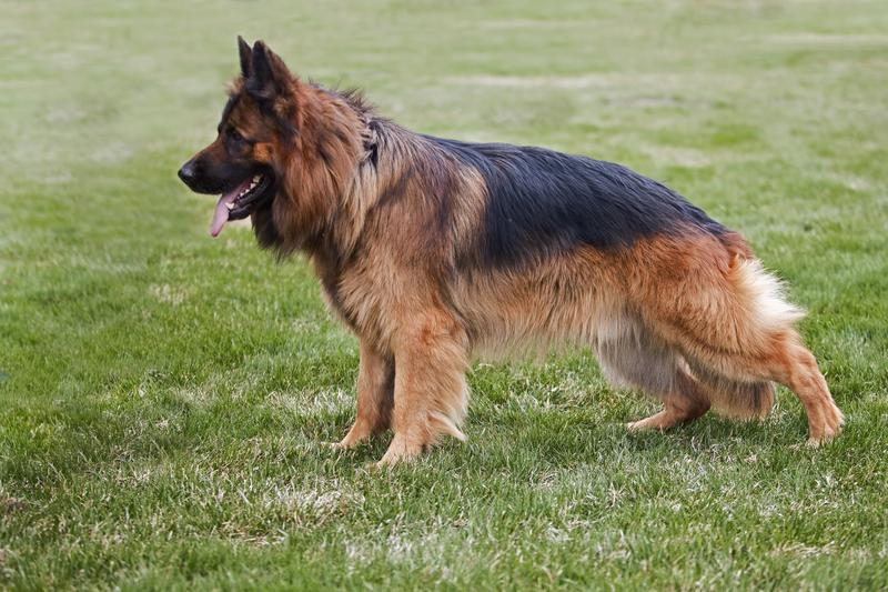 Long Coat German Shepherd Breeders | Majic Forest Shepherds