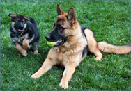If you are looking for Long Goat German Shepherds For Sale, contact Majic Forest